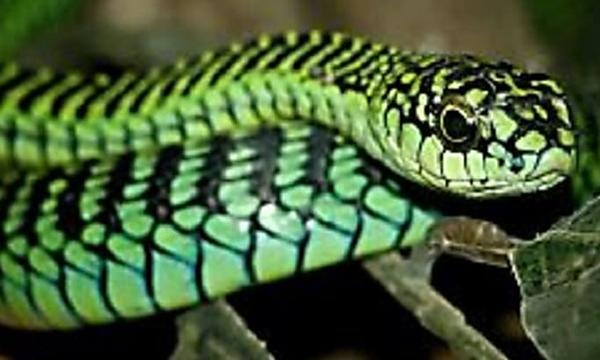 Is The Most Deadly Snake Known To Man From New Mexico