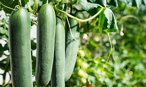 How to Plant, Grow and Harvest Cucumbers